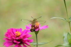 Insekt na kwiacie Fotografia Royalty Free