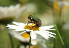 Insekt na kwiacie Obrazy Royalty Free