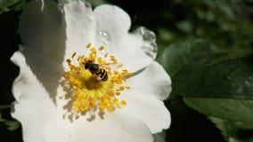 Insekt na kwiacie dogrose fotografia royalty free
