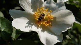 Insekt na kwiacie dogrose obrazy stock