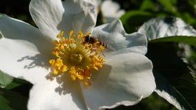 Insekt na kwiacie dogrose obraz royalty free