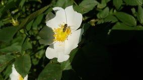 Insekt na kwiacie dogrose obrazy royalty free