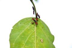 Insekt na liściu Zdjęcia Stock
