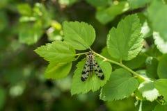 Insekt na liściu Zdjęcie Royalty Free