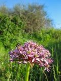 Insekt na menchia kwiacie zdjęcie stock