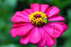Insekt na menchia kwiacie Fotografia Royalty Free