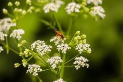 Insekt na roślinie, Nieborow, Polska Zdjęcie Stock