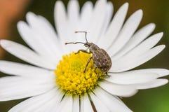 Insekt na stokrotce fotografia stock