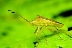 Insekt na zielonym liściu Fotografia Royalty Free