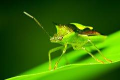 Insekt na zielonym liściu Fotografia Stock
