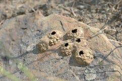 Insekt nistet vom kleinen Stein auf wilder Sandsteinnahaufnahme stockbilder