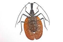Insekt od Tajlandia zdjęcie stock