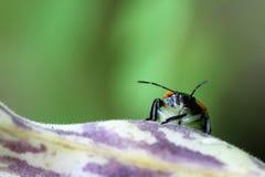 Insekt ono przygląda się nad purpurą i fasolka szparagowa połuszczymy Zdjęcia Royalty Free