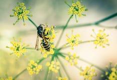 insekt osy samotnie kolor żółty na, czerń i zdjęcia royalty free