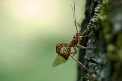Insekt pasożytniczy Fotografia Royalty Free