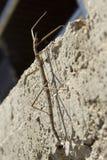 insekt phasmatodea棍子 库存照片