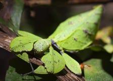 insekt, Phylliidae Zdjęcie Stock