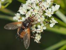 Insekt pije nektar obraz stock