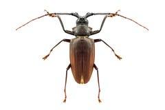 Insekt pluskwa odizolowywająca Obrazy Stock
