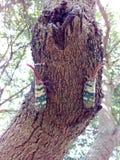 Insekt pluskwy Lanternfly Pyrops Candelaria colour insekt na drzewnej owoc Obraz Royalty Free
