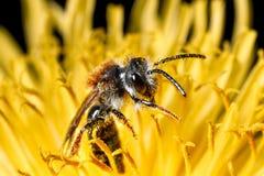 Insekt w kwiacie zdjęcia royalty free