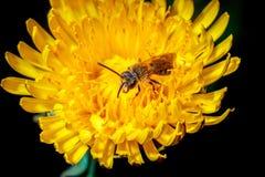 Insekt w kwiacie obrazy stock