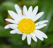 Insekt w stokrotka kwiacie zakrywającym z wodnymi kroplami obrazy royalty free