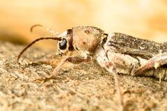 insekt xilophagous zdjęcie stock