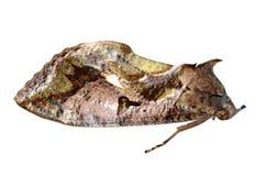 insekta ćma obrazy royalty free