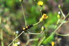 Insekta chwyt kwiatu gałąź w ranku, zakończenie w górę, plenerowym obraz stock