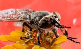 Insekta horsefly makro- Obraz Royalty Free