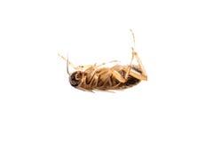 Insekta karakanu zarazy pluskwa Fotografia Stock