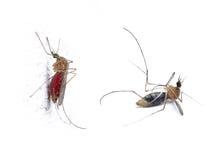insekta komar obrazy royalty free