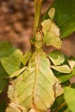 insekta liść Obrazy Royalty Free