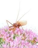 insekta modliszki modlenie Obrazy Royalty Free