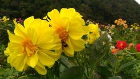 Insekta mrowia pollen Zdjęcia Stock
