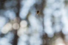 Insekta pająk na pajęczynie Zdjęcia Stock