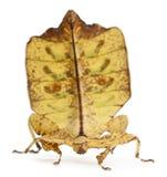 insekta phyllium kija westwoodii Zdjęcie Stock