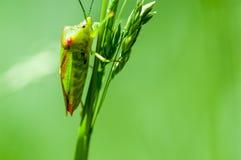 Insekta portreta głogu pluskwa Obrazy Royalty Free