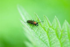 Insekta portreta gryzienia muszka Zdjęcia Stock