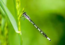 Insekta portreta pospolity błękitny damselfly Obraz Royalty Free