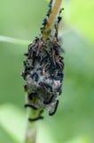 Insekta portreta sawfly larwy Fotografia Royalty Free