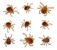 insekta samotny gwiazdy cwelich zdjęcie stock