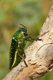 Insekta Sternocera sternicornis i żółty błyszczący insekt jest usytuowanym na gałąź jaskrawy insekt od Sri Lanka Glansowany i lus Fotografia Stock