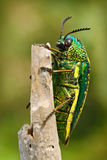 Insekta Sternocera sternicornis zieleń i żółty błyszczący insekt jest usytuowanym na gałąź jaskrawy insekt od Sri Lanka Glansowan zdjęcie stock