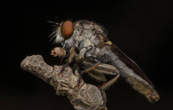 Insekta zabójcy łasowania czerwieni mrówka Obrazy Stock