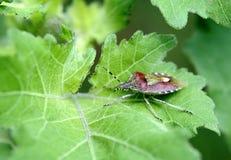 Insekte, pentatomidae lizenzfreie stockfotos