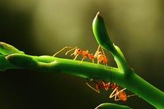 Insekten, Ameisen Lizenzfreie Stockbilder