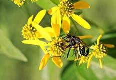 Insekten auf gelber Blume Stockbilder