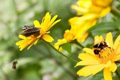 Insekten auf Sonnenblumen im Sommer Stockfotos